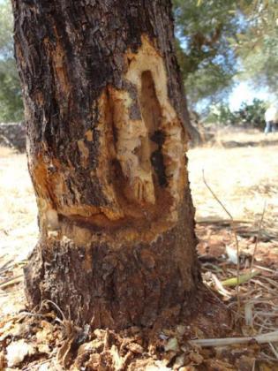 MALLORCA. AGRICULTURA. Máxima preocupación de los payeses por los 'efectos demoledores' del 'ébola de los olivos'. Imagen del tronco de un olivo afectado por la 'Xylella fastidiosa'.