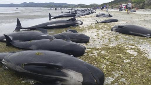 Imagen facilitada por el Departamento de Conservación de Nueva Zelanda que muestra docenas de ballenas varadas en una playa, mientras voluntarios luchan por devolver a los animales al mar.