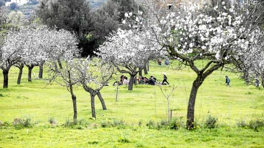 Un grupo de personas disfruta de un pícnic entre los almendros de Corona.