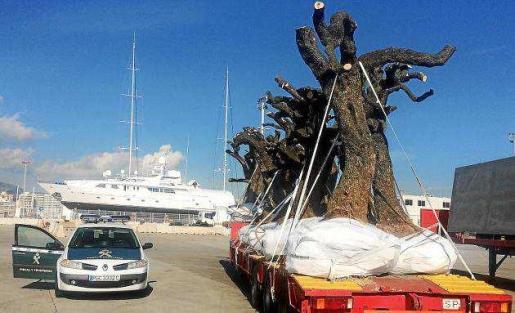 Imagen de varios ejemplares de olivos retenidos en el puerto de Palma por el control de la bacteria 'Xylella'.