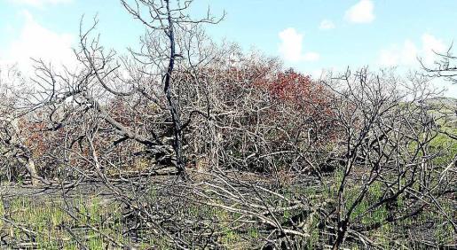 Imagen de vegetación quemada tras el incendio del verano pasado.