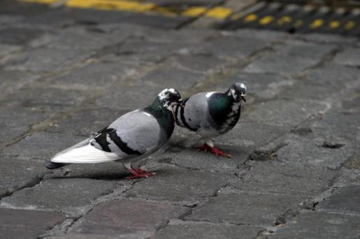 Una pareja de Palomas.