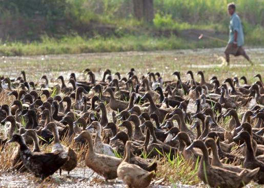 En la imagen, campo de patos.