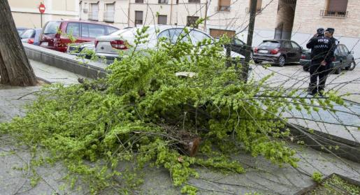 Una niña de 12 años ha fallecido después de que le haya caído encima la rama de un árbol (en la imagen) a la salida del colegio Santiago el Mayor, en Toledo, al parecer tras una fuerte racha de viento.