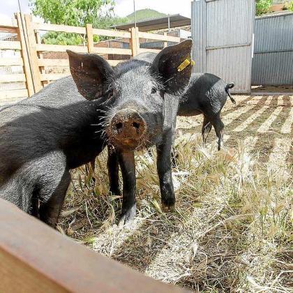En la imagen, un cerdo ibicenco.