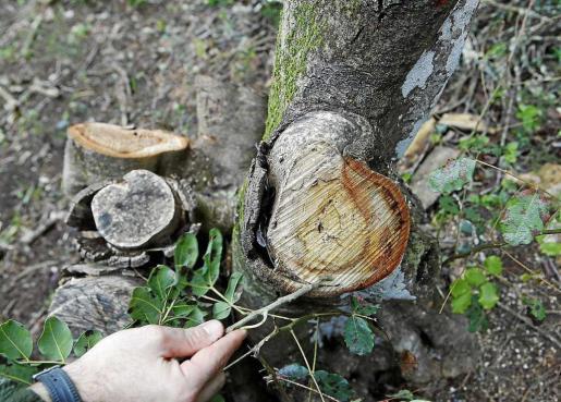 Imagen de archivo de un árbol infectado con 'xylella'.
