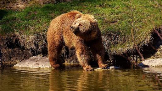 Este macho de oso pardo ha protagonizado diversos incidentes con caballos en la zona.