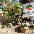 Presentación del proyecto piloto 'meló eriçó' en Cas Secorrat (Fotos: Daniel Espinosa).