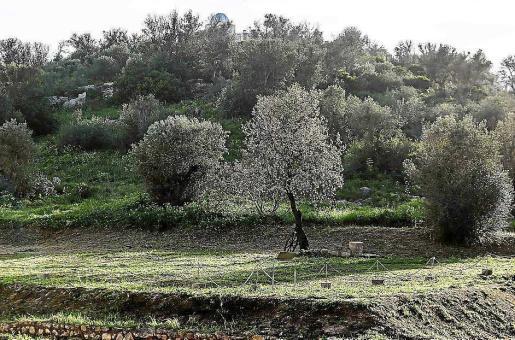 En diferentes zonas de Ibiza, como Puig des Molins y Sant Carles, se habían detectado casos positivos de xylella y se tuvieron que extirpar los olivos.