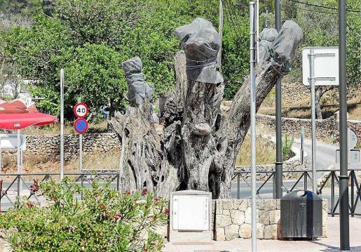 Imagen de archivo de árboles afectados por xylella en Sant Carles.