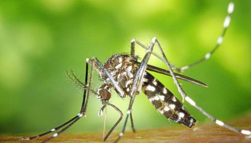 Su presencia en la isla se detectó hace cuatro años pero ha sido este verano cuando se ha comprobado la invasión total del mosquito tigre.