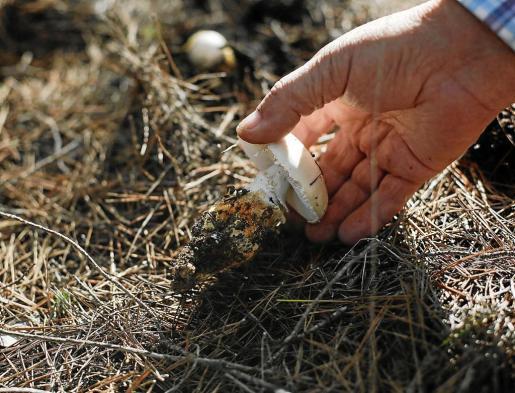 Toni Serra encuentra una Amanita ovoidea de variedad próxima, que es una seta tóxica y no comestible.