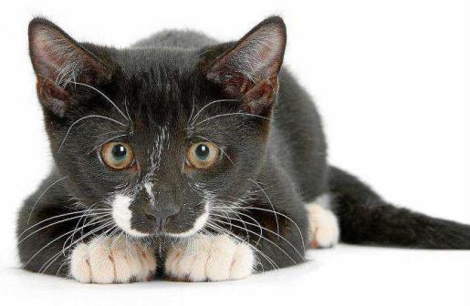 Las enfermedades orales son frecuentes en los gatos