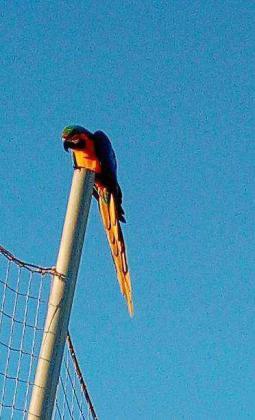 Imagen del loro posado sobre un poste elevado en el campo de fútbol del Santa Gertrudis. El sábado sus ataques obligaron a suspender el partido de cadetes contra el Sant Jordi.