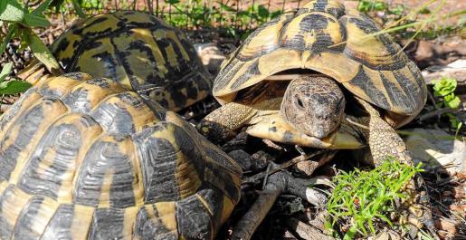 Ejemplares de la tortuga mediterránea tras despertar de la hibernación en la finca de Sant Joan.