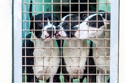 Imagen de archivo de tres perros en el Centre de Protecció Animal Sa Coma.