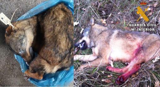 Imagen del ejemplar de lobo ibérico que se vendía por Internet.