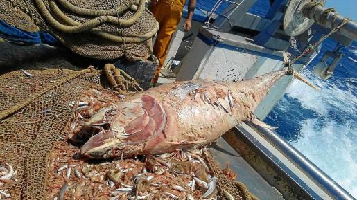Uno de los ejemplares muertos fotografiado por una de las barcas de arrastre alicantina en aguas pitiusas.