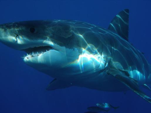 Para los científicos de la asociación Shark Med no cabe duda, por varias razones, de que el gran escualo avistado en aguas baleares no era un tiburón blanco sino un cailón (Lamna nasus).