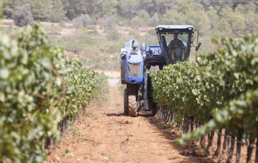 Las bodegas Can Rich empezaron ayer a pleno rendimiento con la recogida de uva.