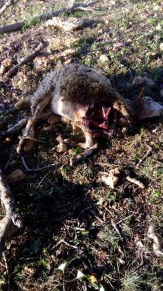 Denuncian nuevos ataques de perros a ganado en Formentera.