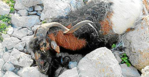 Imagen de archivo de una de las cabras abatidas a tiros por el Govern en febrero de 2016.