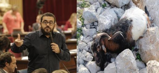 El conseller de Medi Ambient, Vicenç Vidal, ha explicado el asunto de las cabras erradicadas en Es Vedrà.