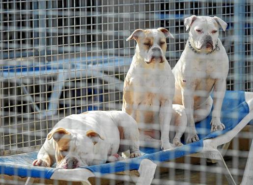 Tres de los 81 perros que hay en el Centro de Protección Animal de sa Coma.