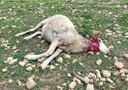 Los dueños del ganado creen que el ataque pudo producirse por un mínimo de dos perros ya que las ovejas estaban en diferentes zonas.