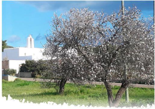 Santa Agnès celebra unas jornadas sobre los almendros de Corona.