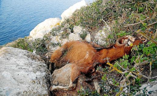 Una de las cabras abatidas a tiros en 2016 por la Conselleria de Medi Ambient.