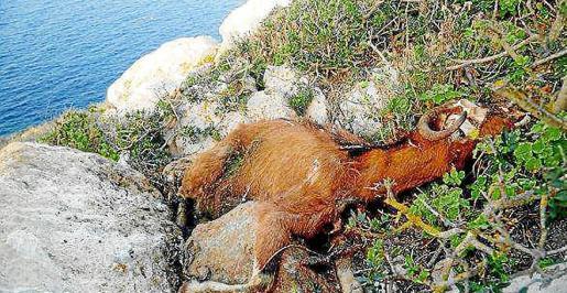 Imagen de archivo de una de las cabras que murió a tiros en 2016.