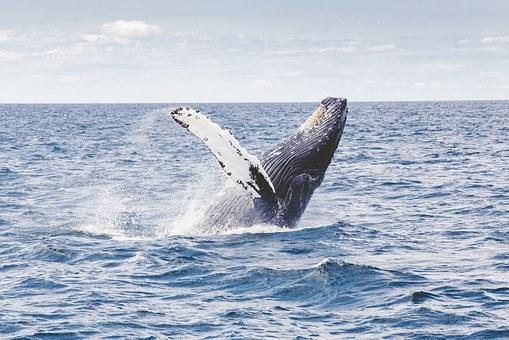 Este fósil de ballena está situado en el interior de un bloque de piedra de Santanyí de unos 750 kilos de peso, procedente de una cantera cercana a la localidad de s'Horta (Felanitx).