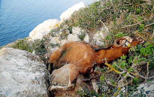 Una de las cabras muertas que quedaron en el islote tras ser tiroteadas en 2016.
