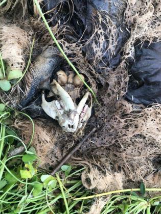 Restos de la cabeza de un perro hallado por los vecinos en una zona de Platja d'en Bossa.