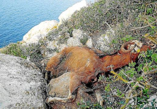 El Govern mató a tiros a las cabras en 2016 y se produjo un gran rechazo social.