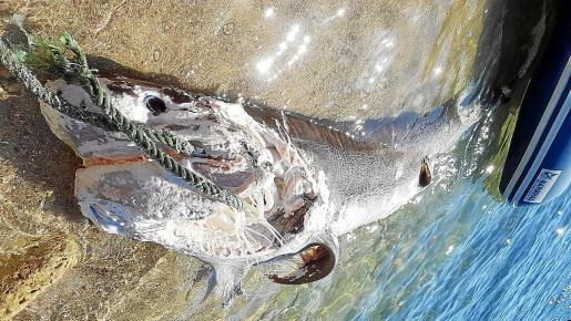 Tiburón muerto en Cala Salada.