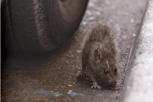 Los roedores salen huyendo de entre los deshechos cuando los contenedores son golpeados y agitados.