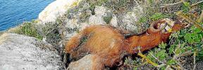 Los animalistas proponen que las cabras vivas de es Vedrà se trasladen a Can Dog