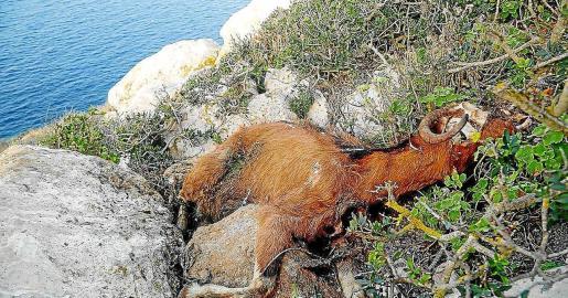 Imagen de archivo de uno de los cadáveres de las cabras de es Vedrà en 2016.