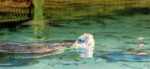 La tortuga Andrea, ayer, en el acuario de Cap Blanc, saca la cabeza para respirar.