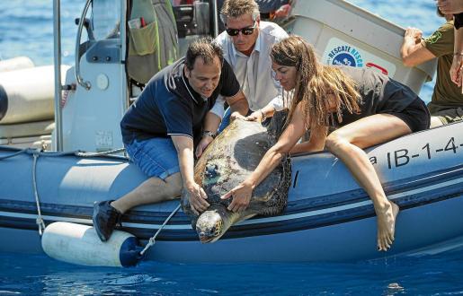 El Servicio de Protección de Especies de la Conselleria recuerda que estamos en tiempo de nidificación de tortugas marítimas y las puestas de huevos se dan cada vez más en playas del litoral mediterráneo occidental.