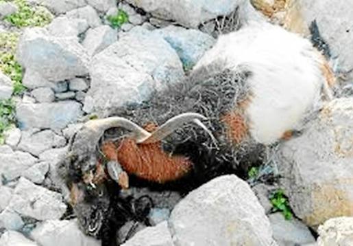 La matanza a tiros de las cabras suscitó una gran repulsa social en Ibiza.
