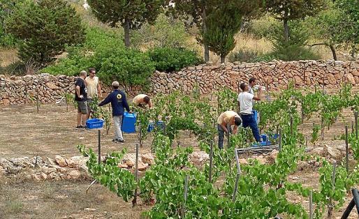 Los vendimiadores de Can Xomeu recogen las uvas de la nueva añada.