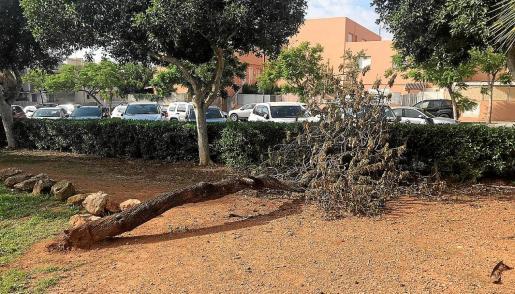 Un árbol muerto en Cas Serres.