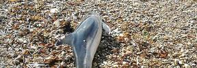 Cría de delfín muerta en Sant Antoni