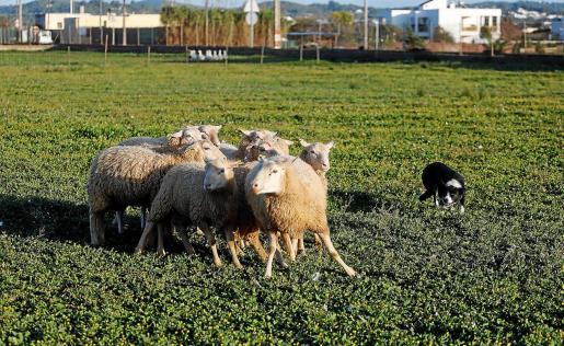 Propietarios de perros border collie de Ibiza asistieron a una demostración de pastoreo y pusieron a prueba a sus animales.
