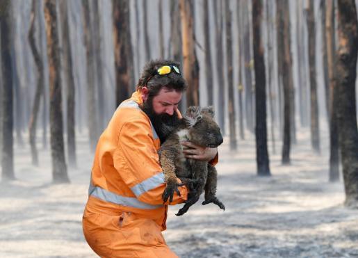 Los koalas se están viendo afectados por los incendios forestales.