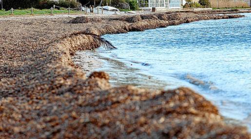 Hay partes de la playa de Talamanca que están completamente 'inundadas' de algas, lo que, en muchas ocasiones, dificulta incluso que la gente pueda moverse con comodidad.