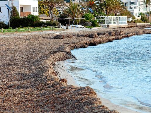 Aspecto de las playas tras la reposición de la posidonia para que se mezcle con la arena y fije la playa.